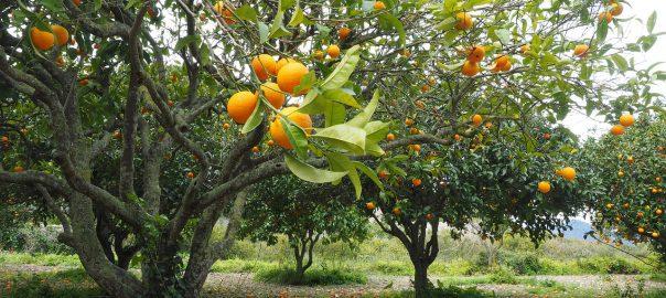 11Jan/19 Orangen der Schülerfirma aus Valencia Seit nun einem Jahr hat die Schülerfirma der Pina-Bausch-Gesamtschule einen eigenen Baum auf einer Plantage in Valencia. Orangen der Schülerfirma aus Valencia